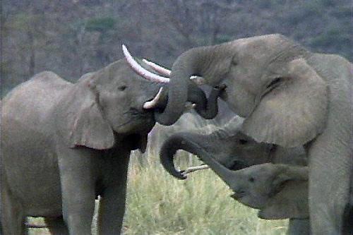 ゾウのあいさつ