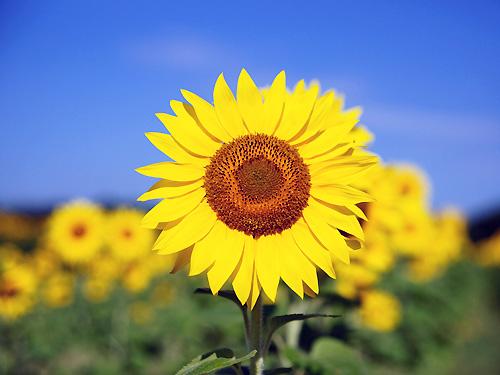 豊明市の花