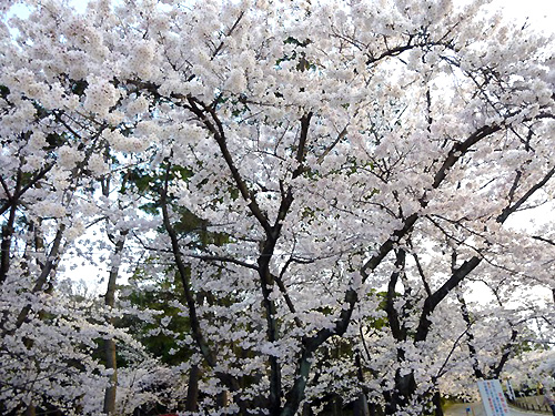 満開の桜です!