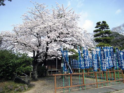 桜満開の鳳凰観音さん