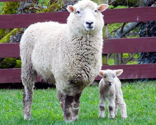 羊の親子❤