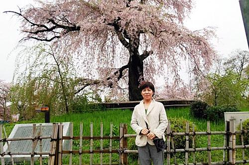 円山公園~しだれ桜~