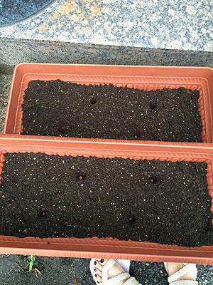 プランターの土に種植え
