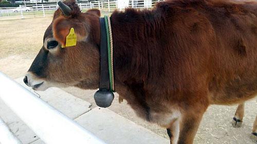 ジャージー牛 その2