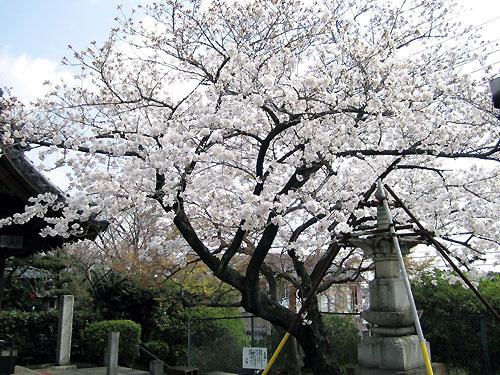 とりで観音さんの桜2