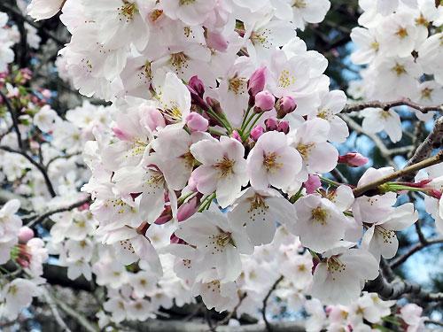とりで観音さんの桜3