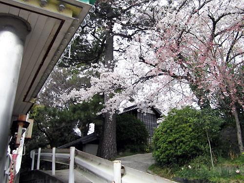 門かぶりの桜