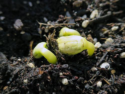 ゴーヤの発芽