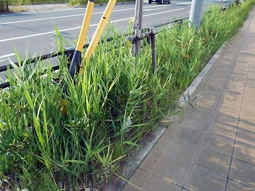 成長した雑草たち。