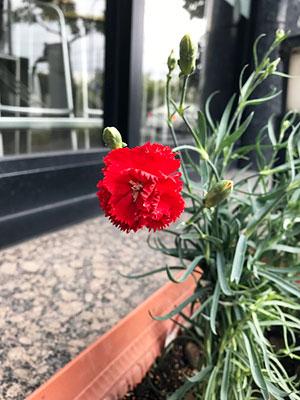 真っ赤なカーネーションが咲きました!