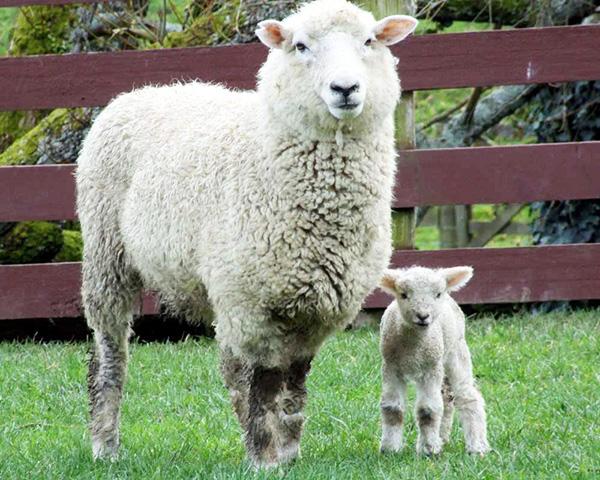ふわふわな羊