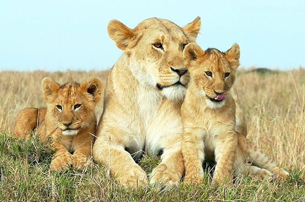 ママさんライオン