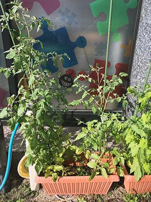 ミニトマト成長早っ!