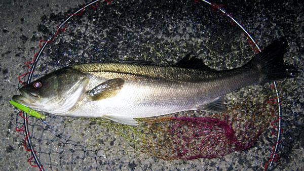 こんな魚です