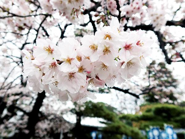 鳳出観音さんの桜