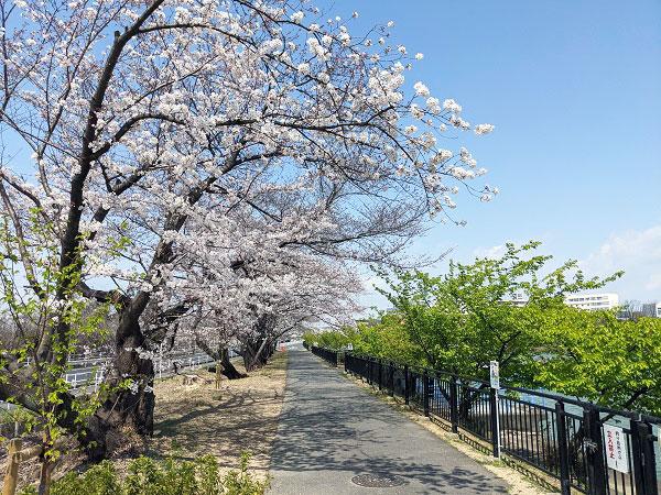 大府市桜まつり【桃山公園・石ヶ瀬川・二ツ池公園】