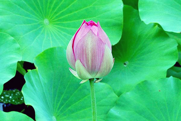 緑豊かな大府市の夏に鮮やかに咲く ~蓮の花・アジサイ【星名池】~