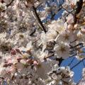 通勤路で春を見つけてみよう!!~春のぶらり田村散歩~